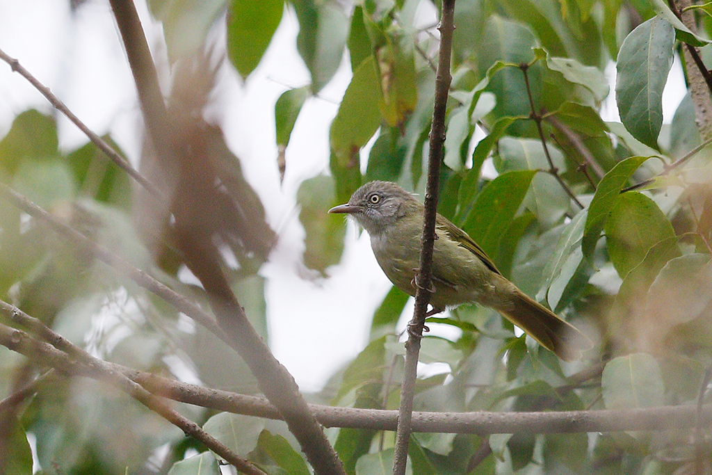 Tiny Greenbul / Arabuko Sokok Forest, Kenya / 21 September 2015