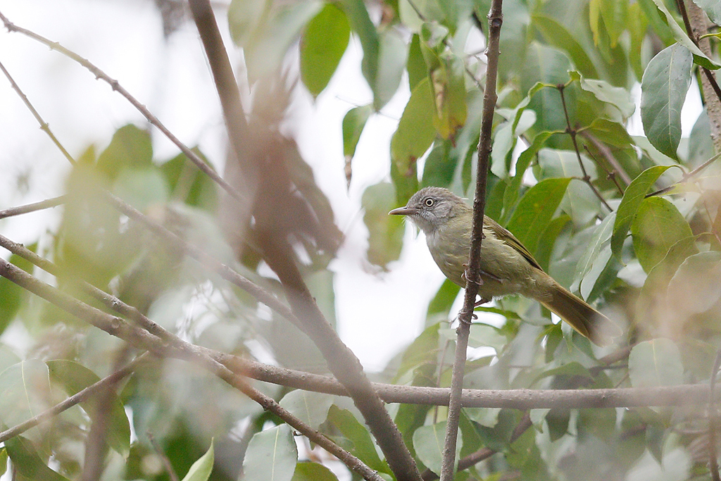 Tiny Greenbul / Coutada 11, Mozambique / 12 October 2015
