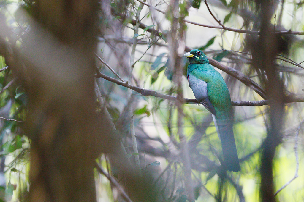 Narina Trogan / Lowland Forest, Coutada 11, Mozambique / 12 October 2015