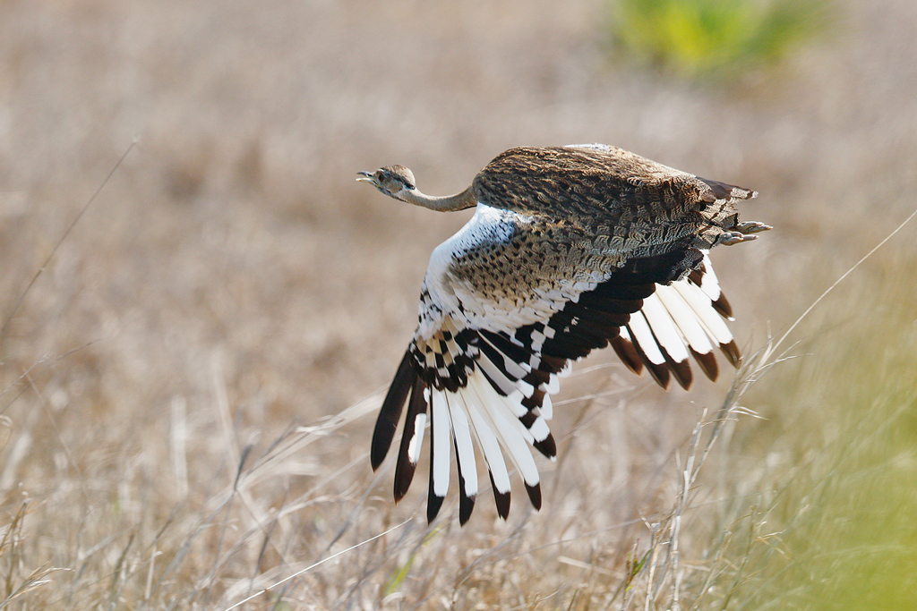 Black-bellied Bustard / Flood Plains, Coutada 11, Mozambique / 13 October 2015