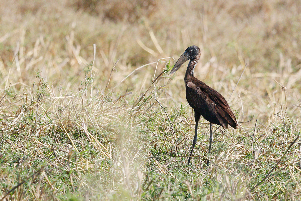 African Open-billed Stork / Flood Plains, Coutada 11, Mozambique / 13 October 2015