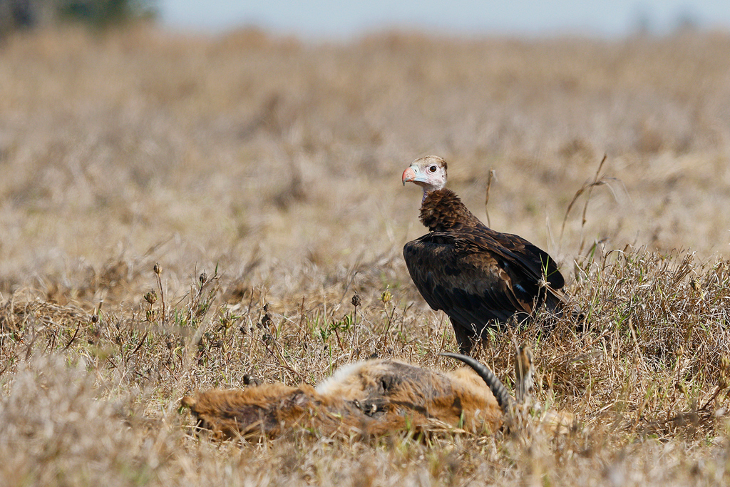 White-headed Vulture / Flood Plains, Coutada 11, Mozambique / 12 October 2015