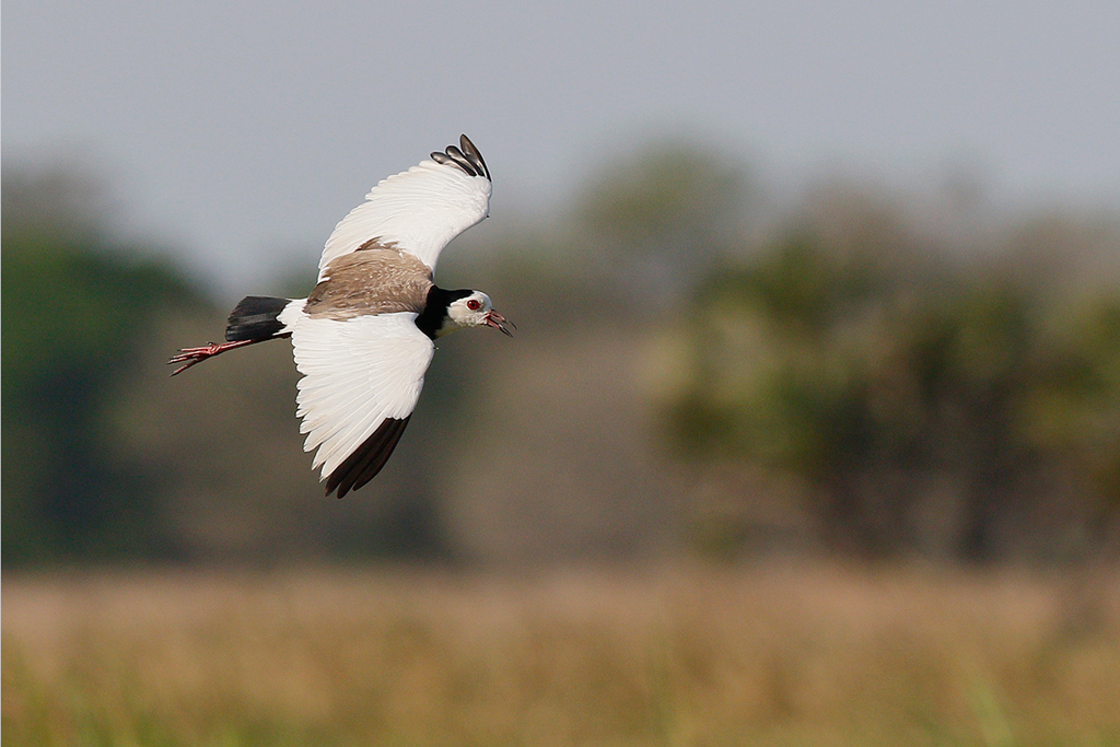 Long-toed Lapwing / Flood Plains, Coutada 11, Mozambique / 23 October 2015