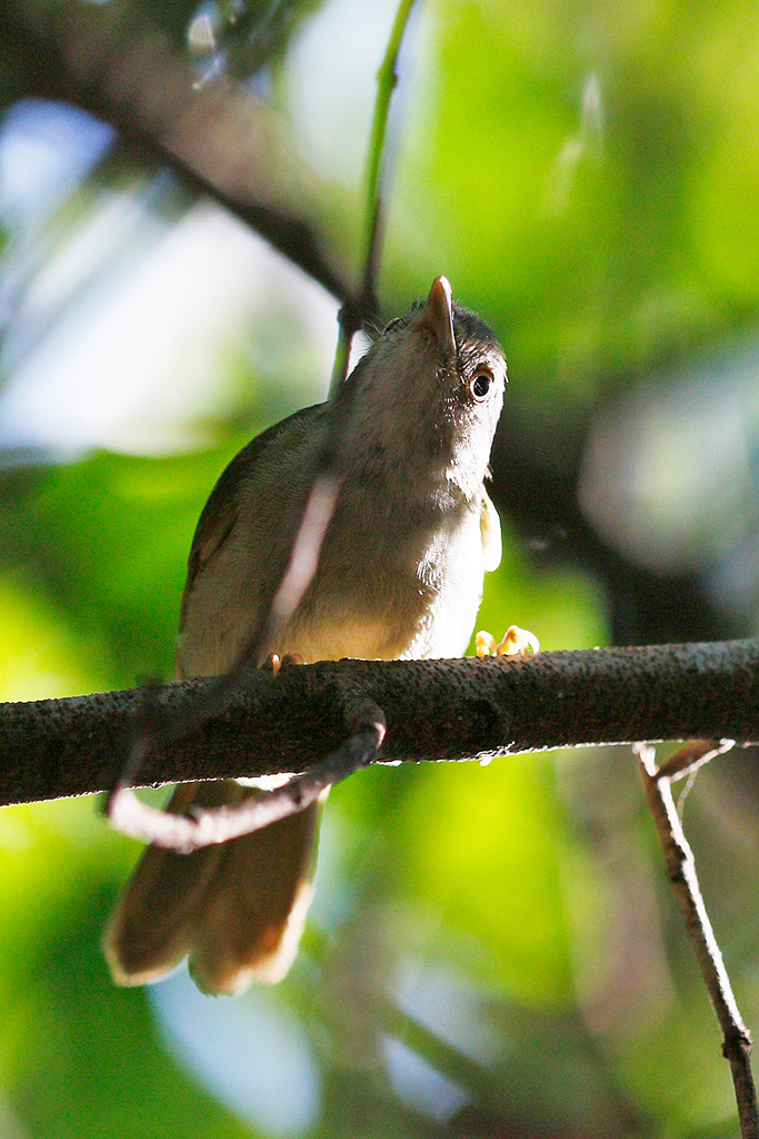 Tiny Greenbul / Coutada 11, Mozambique / 13 October 2015