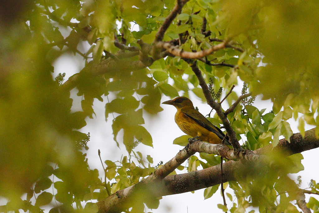 African Golden Oriole / Miombo Woodland, Coutada 12, Mozambique / 14 October 2015