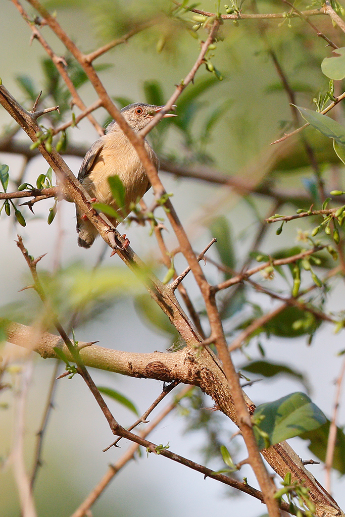 Red-faced Crombec / Coutada 12, Mozambique / 16 October 2015