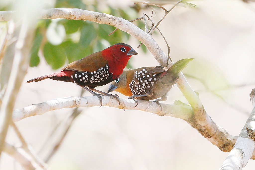Red-throated Twinspot / Coutada 12, Mozambique / 10 October 2015