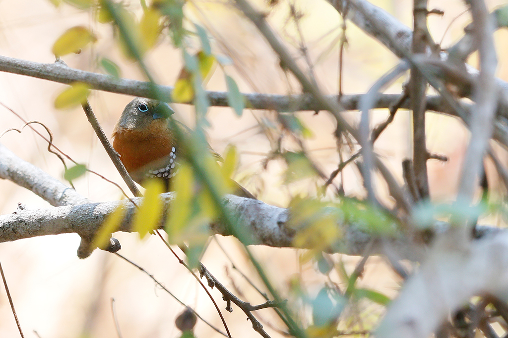 Red-throated Twinspot (female) / Coutada 12, Mozambique / 10 October 2015