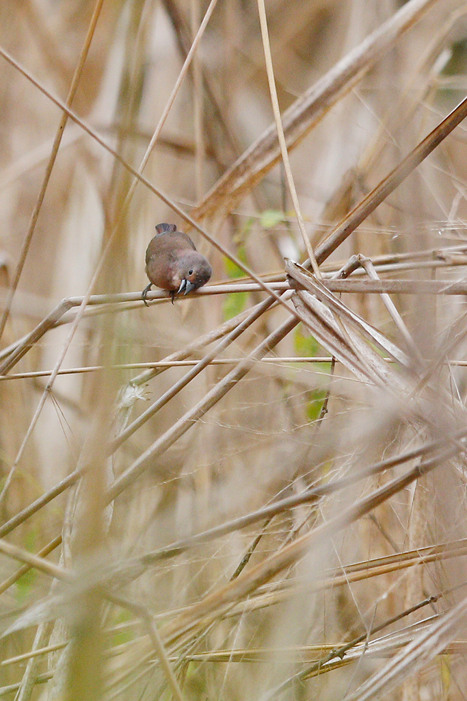 African Firefinch / Coutada 12, Mozambique / October 2015