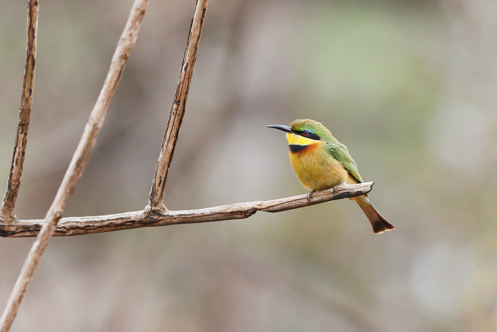Little Bee-eater / Coutada 12, Mozambique / 11 October 2015