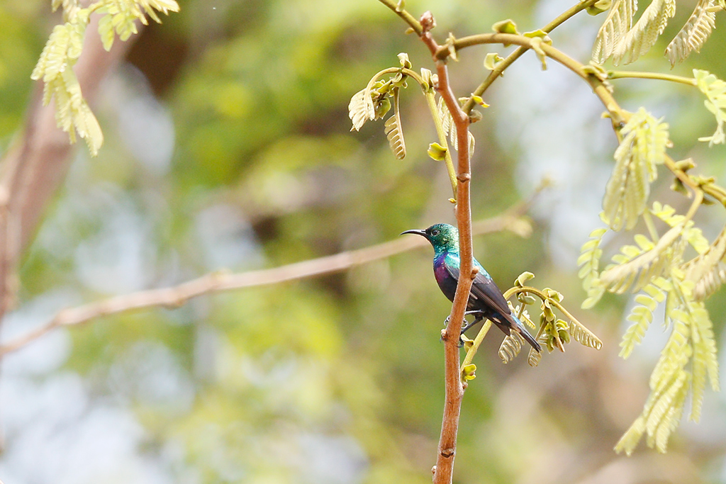 Purple-banded Sunbird / Coutada 12, Mozambique / 11 October 2015