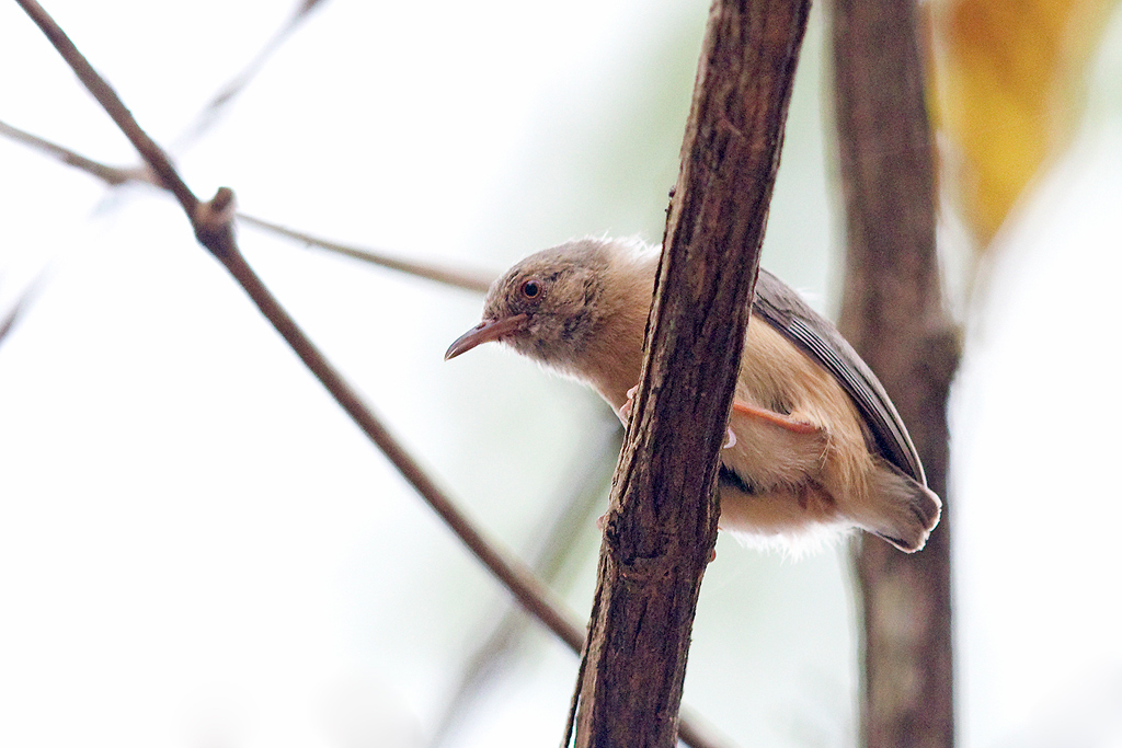 Red-faced Crombec / Coutada 12, Mozambique / 15 October 2015