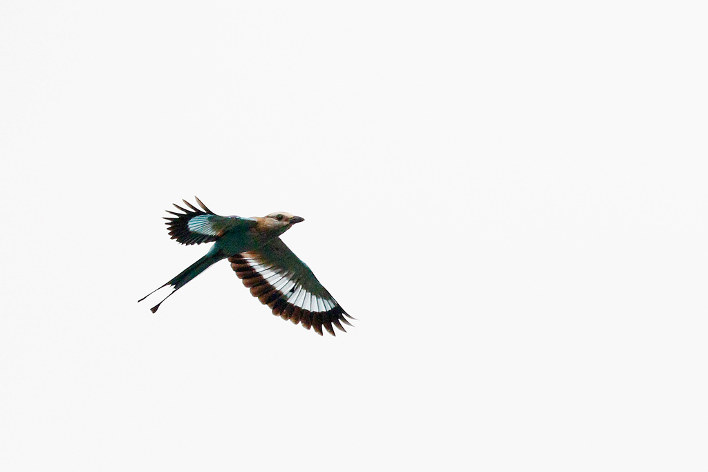 Racket-tailed Roller / Coutada 12, Mozambique / 16 October 2015