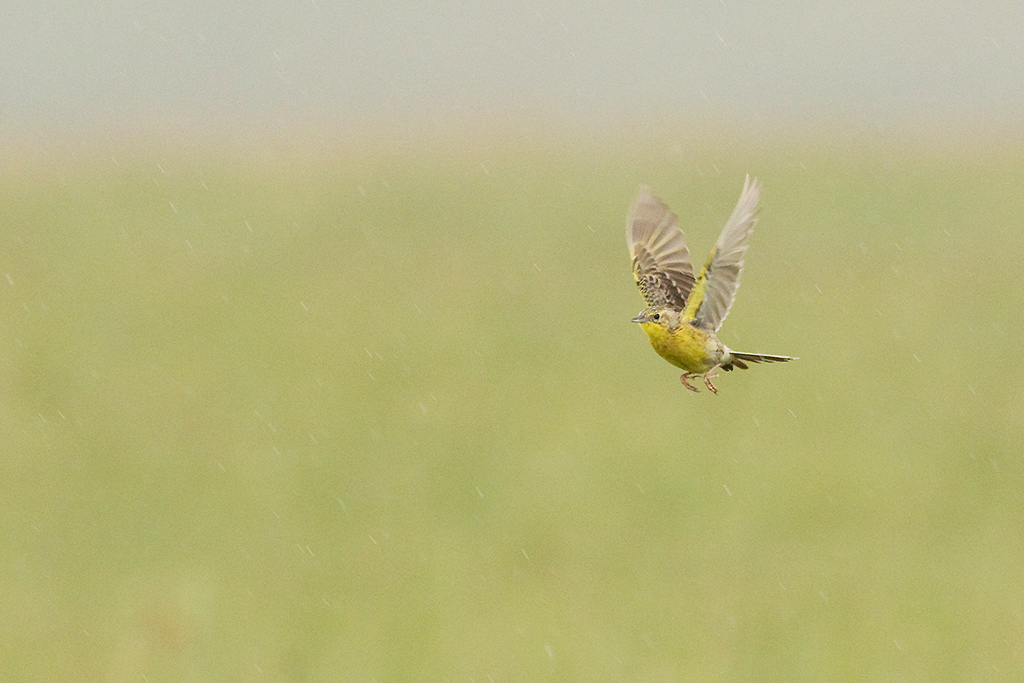 Yellow-breasted Pipit / Ntsikeni Nature Reserve, South Africa / 14 December 2015