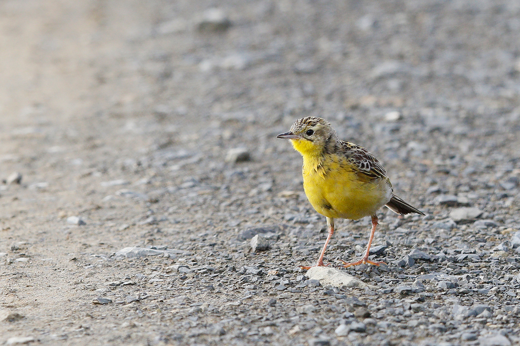 Yellow-breasted Pipit / Ntsikeni Nature Reserve, South Africa / 15 December 2015