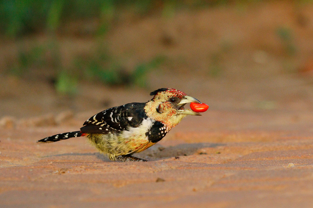 Crested Barbet / Mabula Game Lodge, Waterberg, South Africa / 07 January 2015