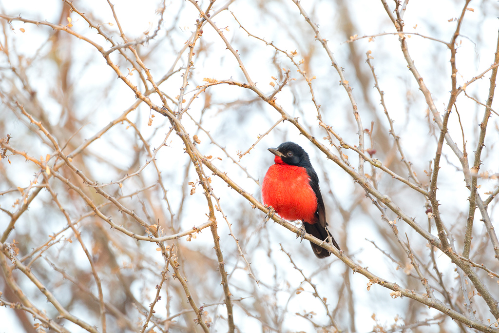 Crimson-breasted-Shrike_Dinokeng-Game-Reserve,-South-Africa_02-August-2020