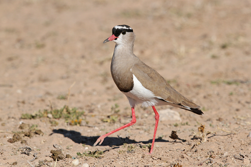 Crowned Lapwing / Kgalagadi Transfrontier Park, South Africa / June 2014