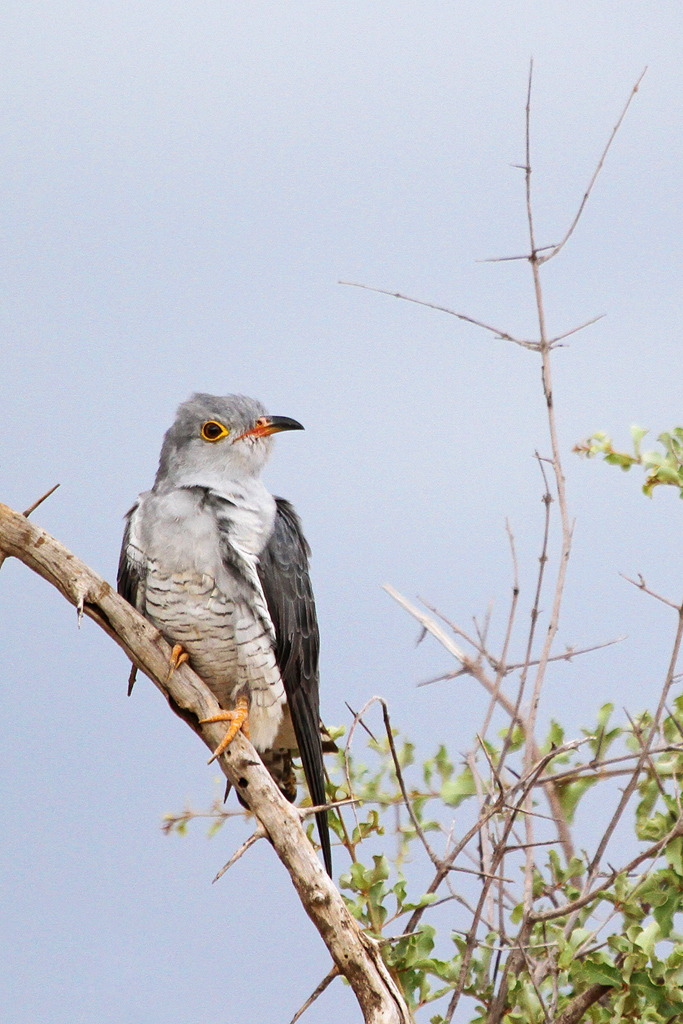African Cuckoo / Northern Kruger National Park, South Africa / 04 February 2012