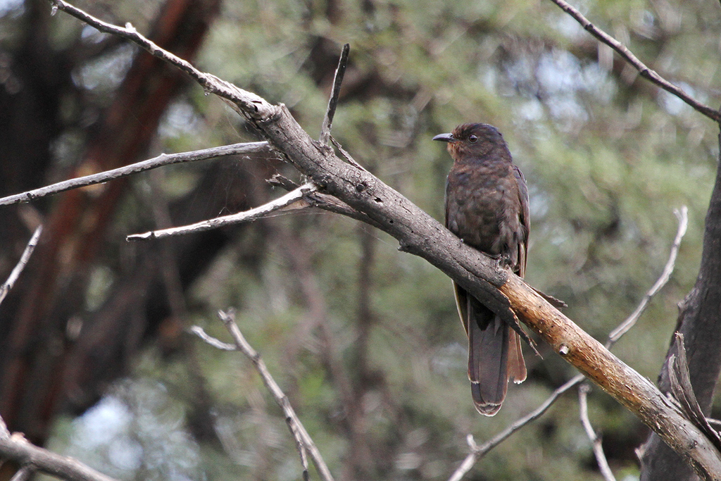 Black Cuckoo / Zaagkuildrift, South Africa / 25 February 2011