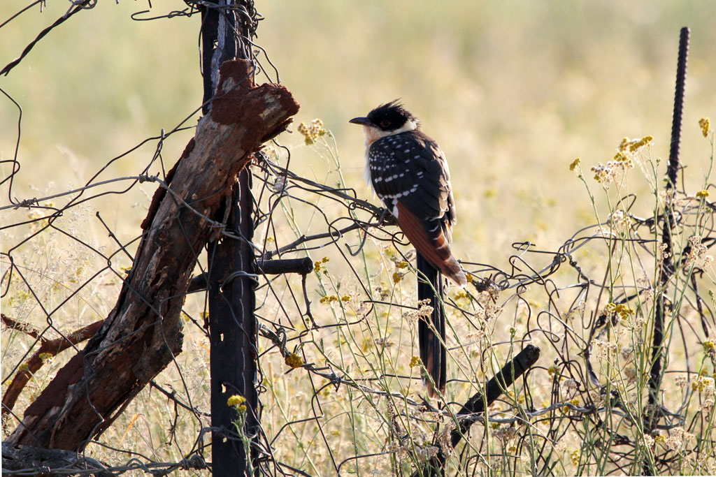 Great Spotted Cuckoo / Kgomo Kgomo, South Africa / 19 February 2011