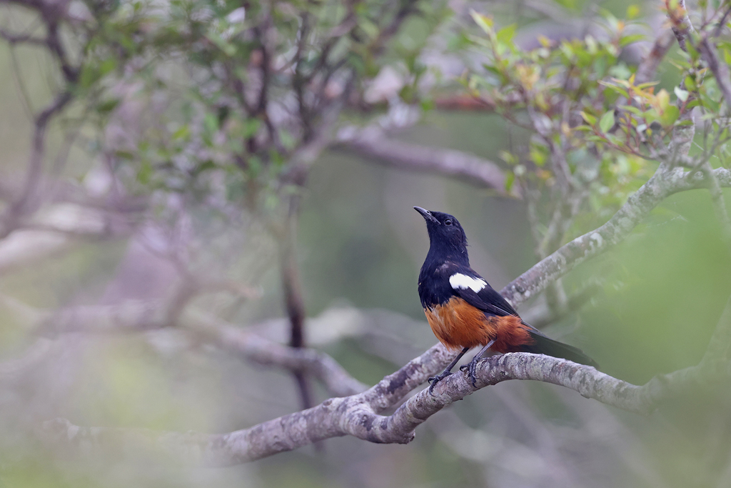 Mocking Cliff Chat / Cumberland Nature Reserve, KZN, South Africa / December 2020