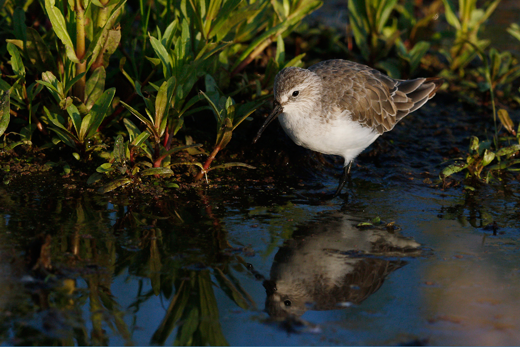 Curlew Sandpiper / Marievale Bird Sanctuary, South Africa / 21 November 2014
