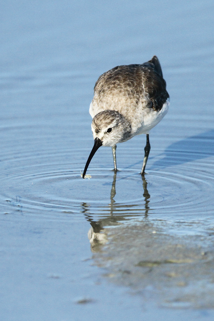 Curlew Sandpiper / West Coast National Park, South Africa / 25 January 2014