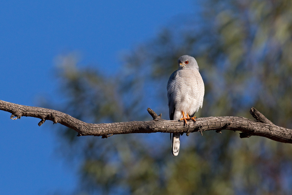 Shikra / De Tweedespruit, north east Gauteng, South Africa / 03 June 2020