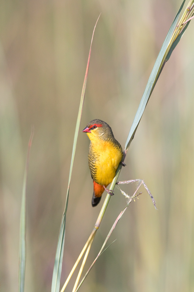 Orange-breasted Waxbill / Rietvlei Nature Reserve, Gauteng, South Africa / March 2019