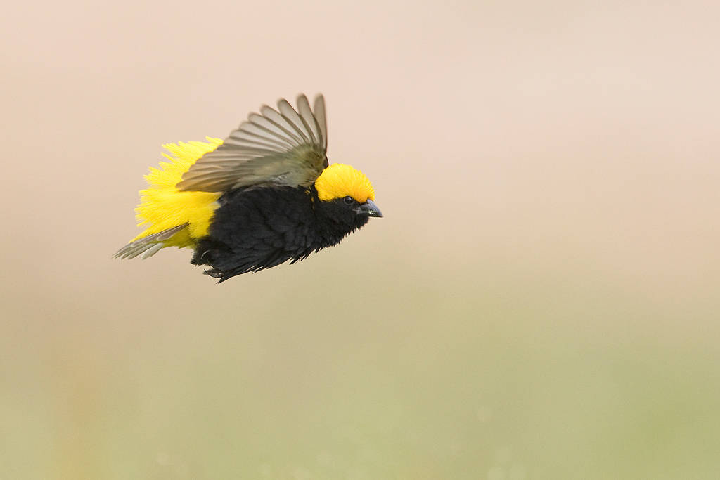 Yellow-crowned Bishop / Devon Farmlands, Gauteng, South Africa / January 2018