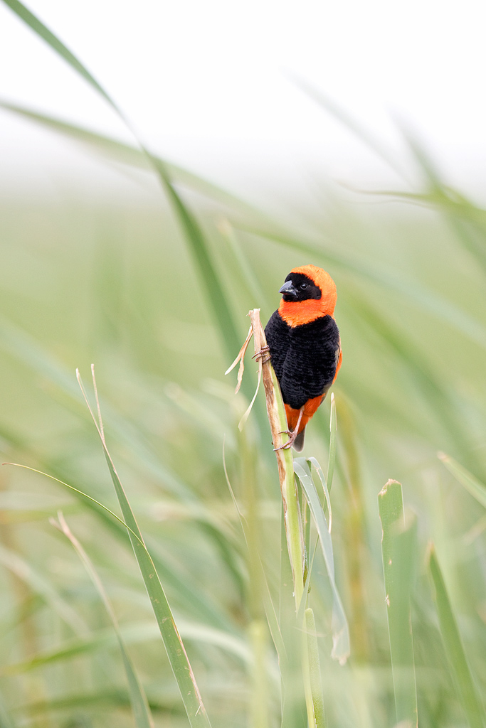 Southern Red Bishop / Devon Farmlands, Gauteng, South Africa / January 2018