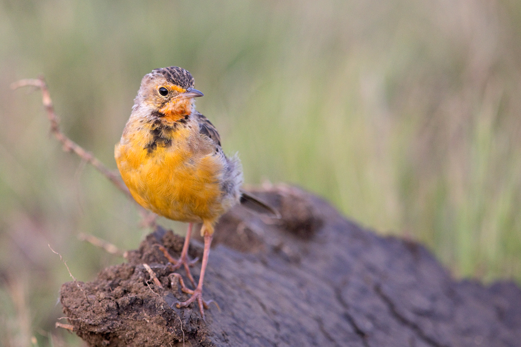 Orange-throated Longclaw / Devon Farmlands, Gauteng, South Africa / 01 May 2018