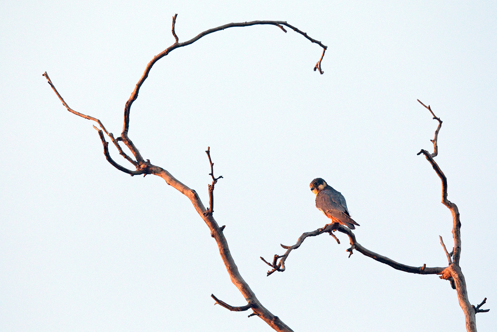 Euraisan Hobby / Rietvlei Nature Reserve, Gauteng, South Africa / February 2019
