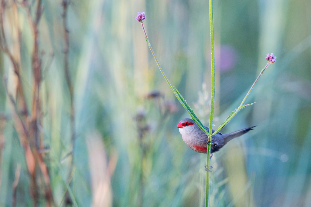 Common Waxbill / Rietvlei Nature Reserve, Gauteng, South Africa / March 2019ED-SM