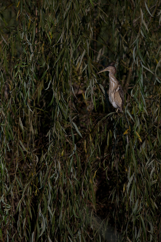 Little Bittern / Rietvlei Nature Reserve, Gauteng, South Africa / August 2019