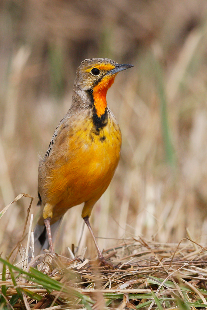 Orange-throated Longclaw / Devon Farmlands, Gauteng, South Africa
