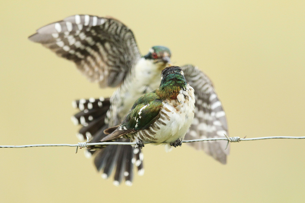 Dideric-Cuckoo_Vlaklaagte-Roadside-Route,-South-Africa_19-January-2014-10