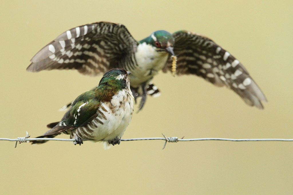 Dideric-Cuckoo_Vlaklaagte-Roadside-Route,-South-Africa_19-January-2014-11