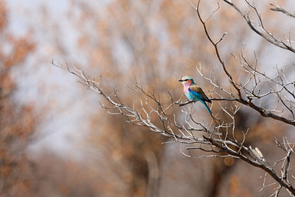Lilac-breasted Roller / Dinokeng Nature Reserve, South Africa / July 2018