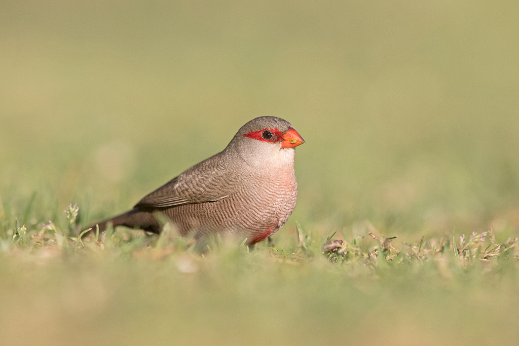 Common Waxbill / Dinokeng Game Reserve, South Africa