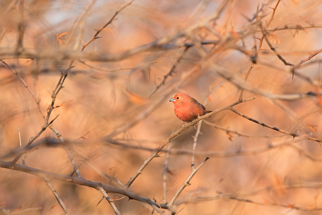 Jameson's Firefinch / Dinokeng Nature Reserve, South Africa / August 2020
