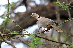 African Mourning Dove / Tsavo West National Park, Kenya / 15 September 2011