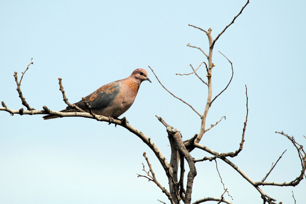 Laughing Dove / Suikerbosrand, South Africa / 12 August 2011
