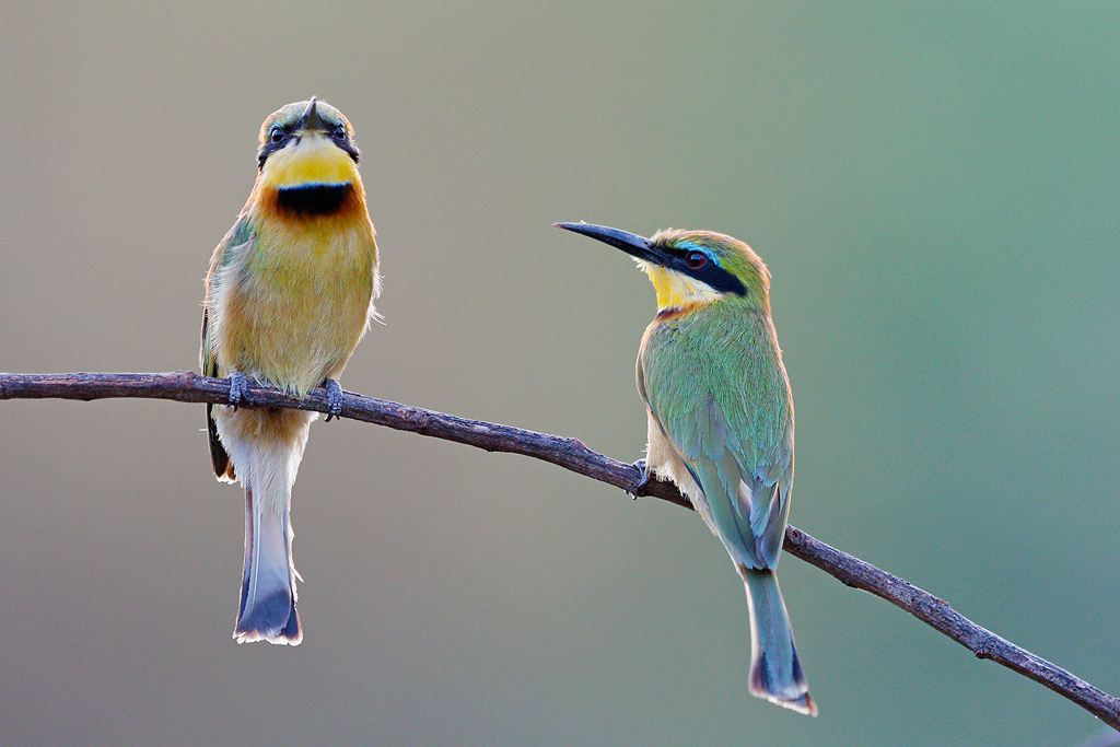 Little Bee-eater / Dzanlanyama Forest, Malawi / October 2016