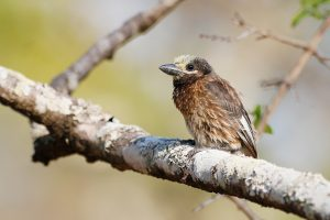 Special Birds / Whyte's Barbet / Dzanlanyama Forest, Malawi