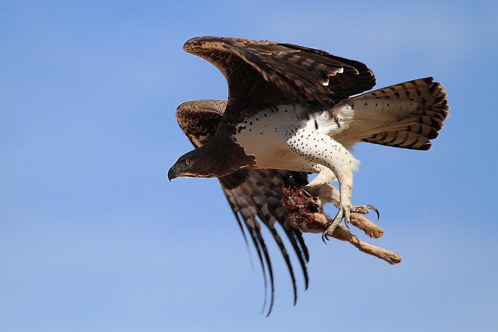 Martial Eagle / Aus, Southern Namibia / 03 July 2012