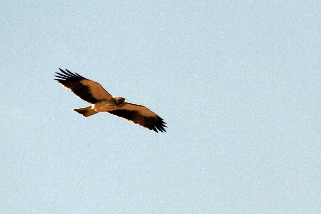 Booted Eagle / Zebra River, Southern Namibia / 05 July 2012