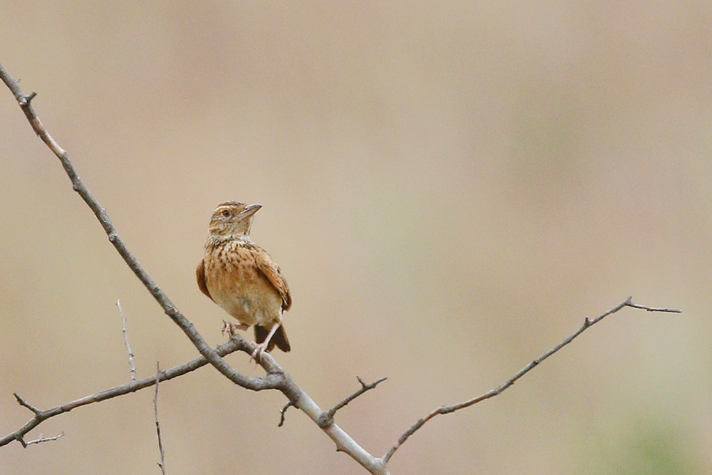 Eastern Clapper Lark / Rietvlei Nature Reserve, Gauteng, South Africa / 28 February 2015