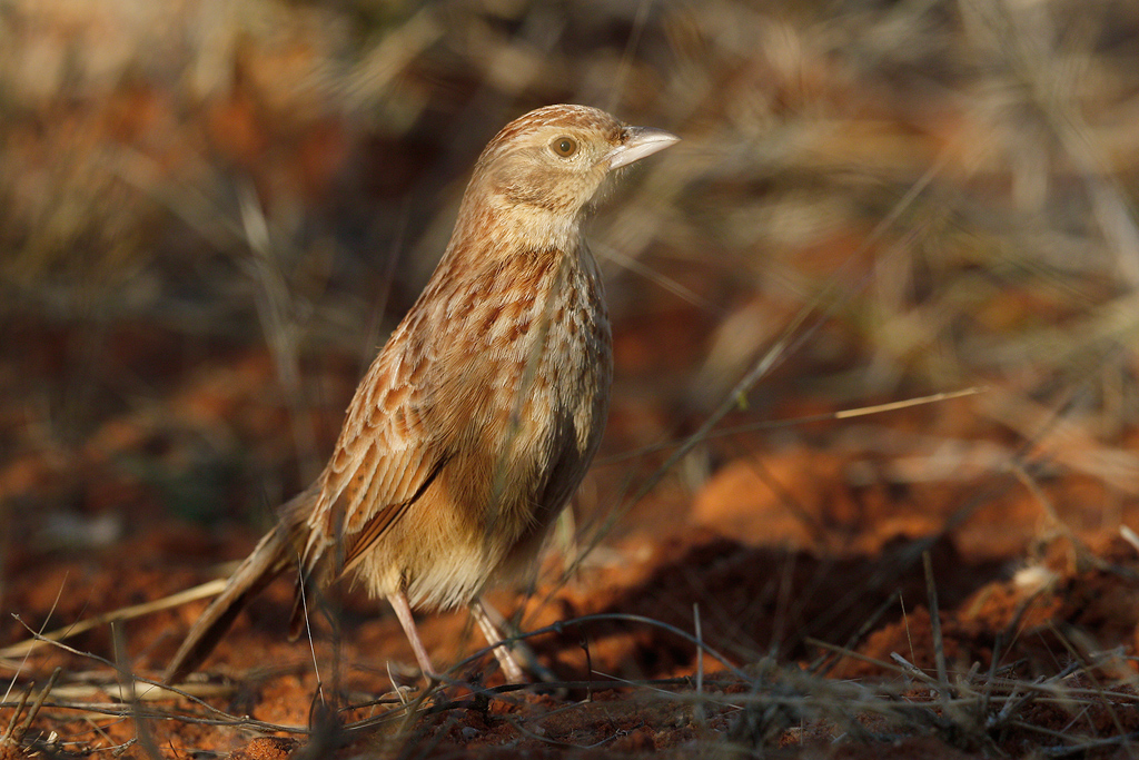 Eastern-Clapper-Lark—Tswalu-Game-Reserve,-South-Africa—14-June-2015-12-SMSH2
